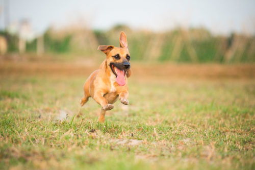 Dog running closeup for outdoor pet photography