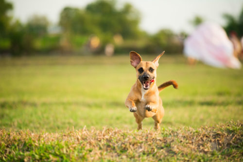 Dog running towards camera for pet photography