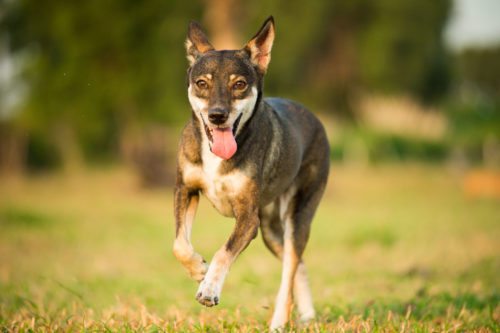 Dog running on a field for pet photographs